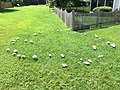 2017-08-03 11 23 16 A fairy ring (fruiting bodies of a mushroom growing in a circle within a lawn) along Ladybank Lane in the Chantilly Highlands section of Oak Hill, Fairfax County, Virginia.jpg