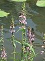 20170718Stachys palustris5.jpg