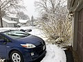 2018-03-21 13 13 36 A Forsythia covered in snow while flowering along Tranquility Court in the Franklin Farm section of Oak Hill, Fairfax County, Virginia.jpg