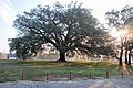 2018 Whistler cork oak tree PT.jpg