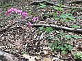 2019-04-14 18 10 51 A bleeding heart blooming along a walking path in the Franklin Glen section of Chantilly, Fairfax County, Virginia.jpg