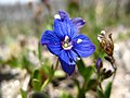 3908 - Gornergrat - Flower.JPG