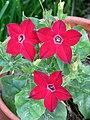 6H Nicotiana × sanderae.jpg