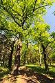 71-249-5037 Dakhnivka Oak DSC 5887.jpg