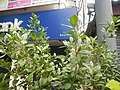 9639Ornamental plants in the Philippines 16.jpg