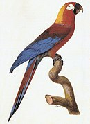 A red parrot with a yellow nape, blue wings, and white eye-patches