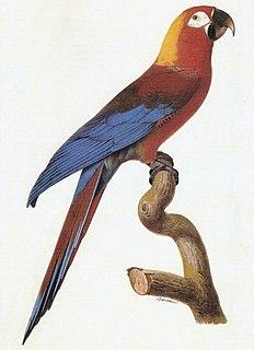 Cuban macaw An extinct species of macaw native to Cuba