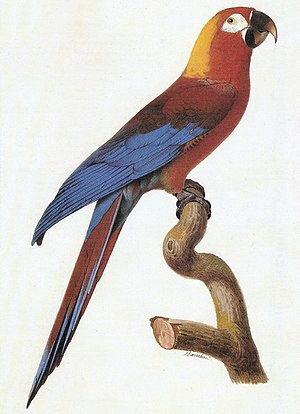 Cuban macaw - Image: A. tricolor