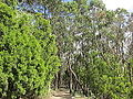 ADH Mount Lofty forest walking path leaving summit.jpg