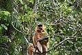 A Pregnant Capped Langur - Flickr - Dr. Santulan Mahanta (8).jpg