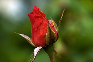 Picture of a red rose Deutsch: Bild einer rote...