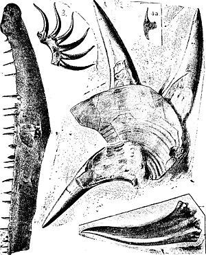 Onychodus - Lower jaw and teeth of O. sigmoides