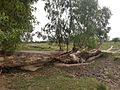 A fallen tree blooms.jpg