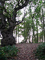 A gnarly old oak - geograph.org.uk - 1020652.jpg