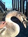A kind swan 2.jpg