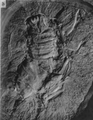 A monograph of the terrestrial Palaeozoic Arachnida of North America photos 16-22 16.png