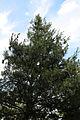 A pine at Gibberd Garden Essex England 01.JPG