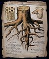 A plant root cut to show growth rings, wood cells in longitu Wellcome V0044550.jpg