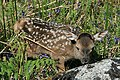 A red deer calf in Glen Liver - geograph.org.uk - 1340070.jpg