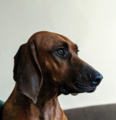 A two-year-old male Redbone Coonhound.png