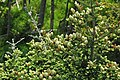 Abies fraseri (Fraser fir) (Clingmans Dome, Great Smoky Mountains, North Carolina, USA) 3 (36617939220).jpg