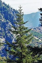 Abies pinsapo subsp. marocana, Talassemtane, Morocco 2.jpg