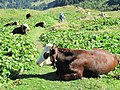 Abondance cattle at le Planet.jpg