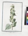 Abutilon crispum floribus melinis parvis - Mauve des Indes (NYPL b14444147-1124979).tiff