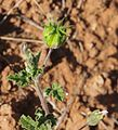 Abutilon malvifolium fuit.jpg