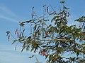 Acacia ataxacantha, loof en peule, a, Louwsburg.jpg