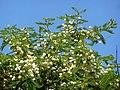 Acacia sieberiana, blomme, Pretoria, e.jpg