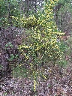 Acacia Cultriformis Wikivividly
