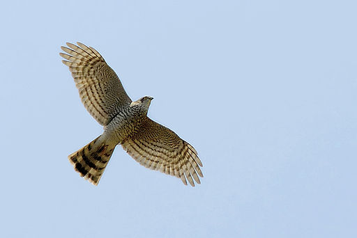 Accipiter nisus -in flight-8