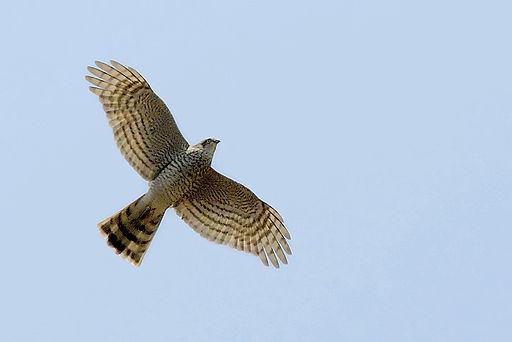 Accipiter nisus -in flight-8