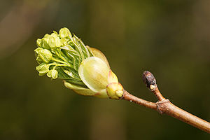 Norway Maple (Acer platanoides) in spring.