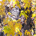 Acer saccharinum autumn color.jpg