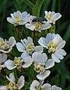 Achilla millefolium bluete.jpg