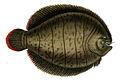 Achirus lineatus Orbigny.jpg