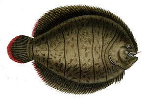 American sole - Achirus lineatus