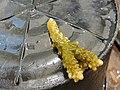 Acropora secale Maldives.JPG