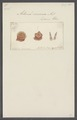 Actinia coccinea - - Print - Iconographia Zoologica - Special Collections University of Amsterdam - UBAINV0274 109 05 0019.tif