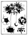 Adanson 1763 baobab planche 1.png