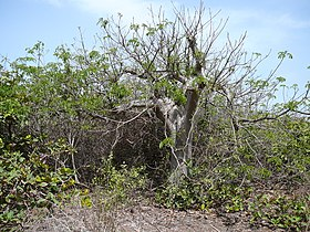 Adansonia digitata 0017.jpg