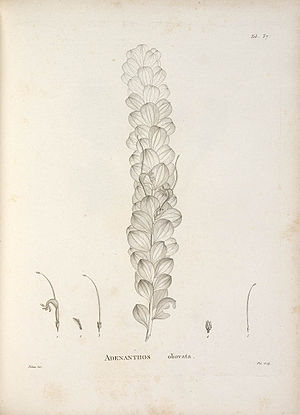 Novae Hollandiae Plantarum Specimen - Tab. 37 Adenanthos obovata