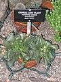 Adromischus cristatus - Gaiser Conservatory (Manito Park) - IMG 7008.JPG