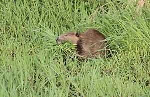 Napa River - May 2014 photo of beaver gathering shore grasses on the Napa River. Courtesy of Cheryl Reynolds, Worth a Dam.