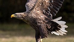 Adult white-tailed eagle (Haliaeetus albicilla) of central Poland in flight (1).jpg
