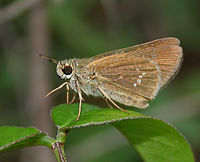 African Straight Swift (Parnara bada) in Vanasthalipuram, Hyderabad, AP W IMG 9229.jpg