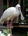 African spoonbill in Higashiyama Zoo - 1.jpg