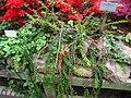 Agapetes serpens - Berlin Botanical Garden - IMG 8741.JPG